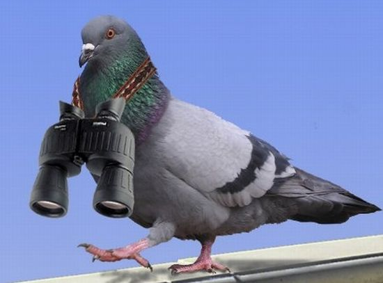 Pigeons and the messengerbirds